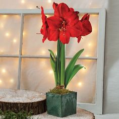 Grand Trumpet® Red Lion Amaryllis Single: Noble red blooms dwarf the intentionally humble cachepot for a look that is timeless and simple These huge blooms immediately create a festive atmosphere! Growing very quickly to an impressive 18 inches high and lasting for weeks, this is one gift that will truly stand out, the vibrant flowers and square, very substantial, woven basket coming together to make a wonderful centerpiece for a holiday dining table.