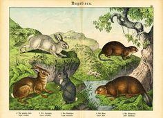 Antique Prints Rodent Hare Beaver Rabbit Muskrat Schubert 1878 | eBay