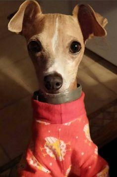 Best Dry Food For Italian Greyhounds