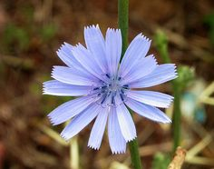 Chicory  (Cichorium intybus) - the young leaves are wonderful in salads, blended with salad greens. The older leaves can be made more palatable by boiling them in a couple changes of water. The taproot is much too fibrous to eat, but it can be roasted, and ground to make a very good coffee substitute.