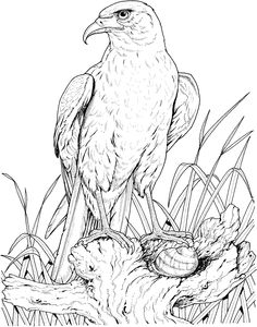 Perched Golden Eagle Coloring Page Free Printable Coloring Pages Horse Coloring Pages, Coloring Pages To Print, Free Printable Coloring Pages, Colouring Pages, Adult Coloring Pages, Coloring Books, Pencil Drawings Of Animals, Bird Drawings, Drawing Sketches