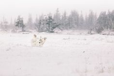 2015 National Geographic Photo Contest | National Geographic - Polar Bear Playing in the Snow - Churchill, Manitoba - Canada - Nature