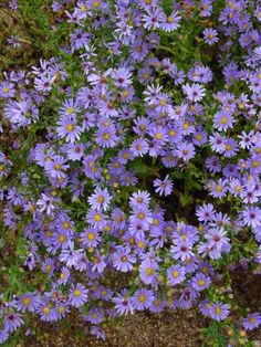 aster laevis - going crazy in my garden now ( early fall)