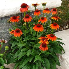 Plant Name: Echinacea Sombrero 'Flamenco Orange' Growing Conditions: Full Sun Size: 24–26 inches tall, 18–20 inches wide Zones: 4–8