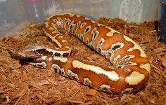 love this blood python.. and my peeps from http://norcalherp.com told me what this was! sssssssssssssssssssssssssssssssss