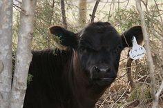 Kirkhaven Farm, Dexter Cattle, Grass Fed Beef (Knoxville)