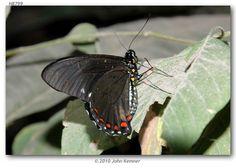 Dyar's swallowtail (Battus ingenuus) MEXICO: OAXACA: Dist. Juchitan, Zanatepec-Tapanatepec,