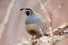A male California Quail sits on a branch out of the snow safe from local ground predators. Wildlife Images, Nature photography, Quail home decor photograph.