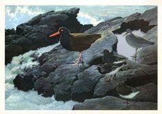 Seafoam Shorebirds Art Print Shore Birds Black Oystercatcher Wandering Tattler
