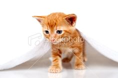 Tabby small kitten with towel on white background Royalty Free Stock Photo