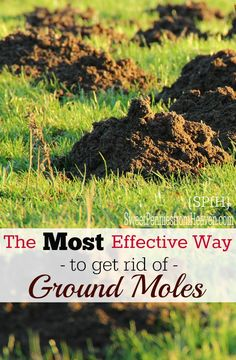 How to Get Rid of Ground Moles - The Most Effective Way I've lived in the country all of my life. Since I was little, I remember my daddy trying to figure out how to get rid of ground moles. We figured it out! Slugs In Garden, Garden Pests, How To Get Rid, How To Find Out, How To Remove, Mole Removal Yard, Moles In Yard, Organic Gardening, Gardening Tips