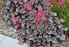 Coral Bells, Heuchera 'Bressingham', is perfect for an airy show of vibrant color in a woodland setting or other semi-shady place. Abundant little red flowers a Rabbit Resistant Plants, Coral Bells Heuchera, Texas Plants, Victory Garden, How To Attract Hummingbirds, Drought Tolerant Plants, Types Of Plants, Cool Plants, Native Plants