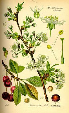 Botanical plate, Cherry - 1885