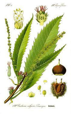 Edelkastanie (Esskastanie) - Kostbare Natur - Finde heraus, wie du die Blätter der Edelkastanie als Heilmittel nutzen und ihre leckeren und gesunden Früchte vielfältig zubereiten kannst.