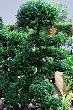 Cloud pruning.  Suitable plants, when to, how to....