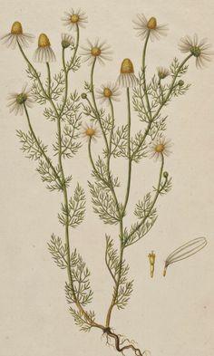 Chamomile - Matricaria chamomilla - circa 1883