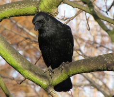 Carrion Crow (Corvus corone) Southend-on-Sea England...so intelligent