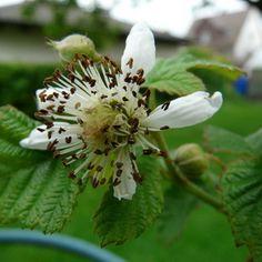 Малина обыкновенная: фото и описание, как выглядят листья и плоды растения