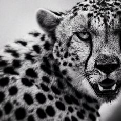 Black and White Wildlife Portraits by Laurent Baheux — Photography Office Big Cats, Cool Cats, Wildlife Photography, Animal Photography, Web Animal, Jaguar, Panther, Animal Drawings, Black And White Photography