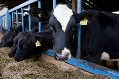 Humanely reared Freedom Food-labelled veal is widely available. Under the Freedom Food scheme, calves are inspected to detailed higher welfare standards which are set and monitored by the RSPCA.