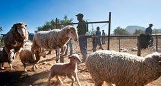 Sheop farming in the Karoo, South Africa Provinces Of South Africa, Cape Town South Africa, Small Towns, Farms, Sheep, Westerns, Farmhouse, Life, Animals