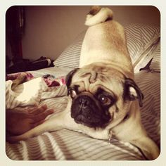 Try making the bed with your pug dancing around.