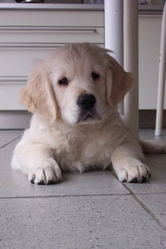 Golden Retrievers are one of the most honest dog breeds you'll ever encounter. Cute Puppies, Cute Dogs, Dogs And Puppies, Doggies, Animals And Pets, Baby Animals, Cute Animals, Funny Animals, Retriever Puppy
