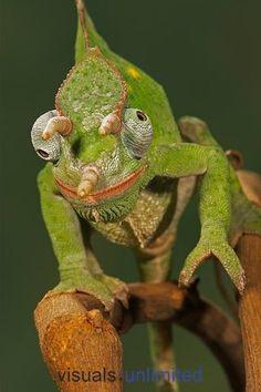 Pouco vesgo este camaleão-de-três-chifres? Não. Os camaleões tem a incrível capacidade de mexer cada um dos olhos independentemente.  Foto de Jack Milchanowski