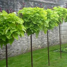 """Hostas planted in pots to look like """"standards"""""""