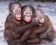 Three baby orangutans from Sepilok Orangutan Rehab Center in Borneo Indonesia