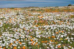 Looking for a flower show? Explore the Cape West Coast to find the flower hotspots of amazing flowers. Ecuador, South Afrika, Small Group Tours, East Africa, Cape Town, Trees To Plant, West Coast, Wild Flowers, City Photo