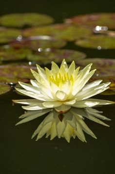 Water Lily Portrait