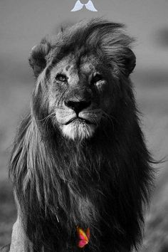 This website is temporarily offline - LCN.com -  Black and White African Lions | photography Black and White beautiful photo face best nature lion � - #AnimalPhotography #LandscapePhotography #LCNcom #offline #temporarily #website #WeddingPhotography<br> Beautiful Cats, Animals Beautiful, Animals And Pets, Cute Animals, Wild Animals, Black Animals, Lion Photography, White Photography, Beauty Photography