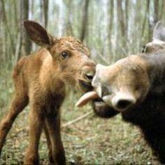 Moose :)