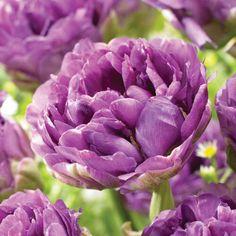 Tulip 'Purple Wow'