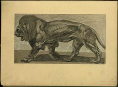 [Lion.] - ID: 102306 - NYPL Digital Gallery