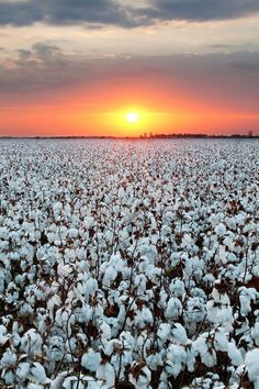 A sunset over a cotton farm in Lubbock, Texas