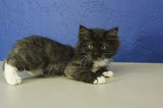 Binky - Black Tuxedo Mitted Munchkin Cat Kitten from www. Ragdoll Kittens For Sale, Munchkin Kitten, Kitten For Sale, Puppies And Kitties, Kittens Cutest, Cats And Kittens, Cute Cats, Maine Coon, Black Tuxedo