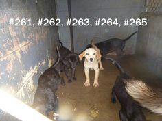 Lab mix puppies Logan County Pound WV please save them! logancountyanimals@gmail.com