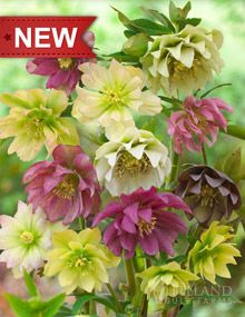 "Double Queen Hellebores  Height: 	12-36""  Bulb Size: 	No. 1  Deer Resistant: 	Yes  Naturalizing: 	Yes  Perennializing: 	Yes  Hardiness Zone: 	5 - 8  Suitable Zone: 	5 - 8  Planting Time: 	Spring  Planting Depths: 	1-2""  Planting Spacing: 	12-36"""