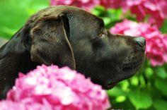 Chocolate Labrador Retriever BOOMER als Blumenkind