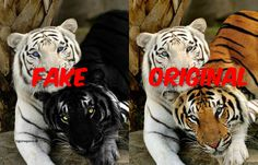 Melanism has been the most prominent comment however that specific Gene is not carried in the big cats