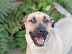 Gone Murdered RIP ~~TO BE DESTROYED 8/2/14~~ Brooklyn Center  My name is CHAMP. My Animal ID # is A1007839. I am a neutered male cream and black anatol shepherd. The shelter thinks I am about 2 YEARS old.  I came in the shelter as a STRAY on 07/23/2014 from NY 11234, owner surrender reason stated was STRAY.