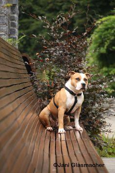 Be One, Hond, AnimalPhotography, Amstaff in Durbuy, België Ardennen augustus 2015