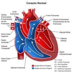 El corazón es la máquina más perfecta del cuerpo humano. Tiene el tamaño aproximado de un puño, es hueco y tiene forma de pera. Este músculo cardíaco, situado en medio del tórax, funciona como una bomba. Recoge la sangre del organismo, pobre en oxígeno y la bombea hacia los pulmones, donde se oxigena y libera los desechos metabólicos (dióxido de carbono). Esta sangre rica en oxígeno será distribuida desde el corazón hacia todos los órganos del organismo