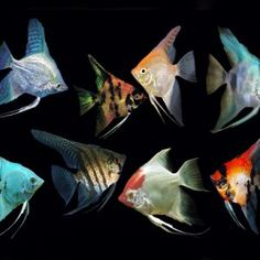 Assorted Angelfish – Fish Place Discus Fish For Sale, Angelfish, Holiday, Vacations, Holidays, Vacation, Annual Leave