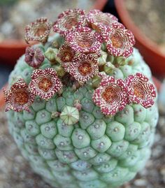 This photo of a blooming Trichocaulon cactiforme was shared from Vida Suculenta by Sheila and it's incredible! Rare plant from all arround the world!!!