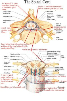 Internal and External Anatomy and Physiology of the Spinal Cord Diagram Spinal Cord Anatomy, Spinal Cord Injury, Reiki, Nursing Tips, Nursing Notes, Medical Coding, Medical Science, Medical School, Body Anatomy