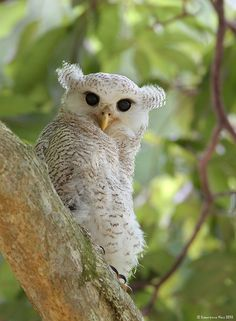 A young Barred eagle-owl (Bubo sumatranus), a fledgling, just ready to fly. Photo by  Lawrence Neo.