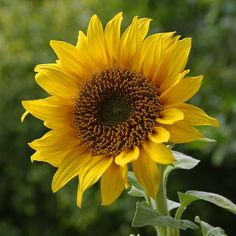 Sunflower - Mammoth Gray Stripe